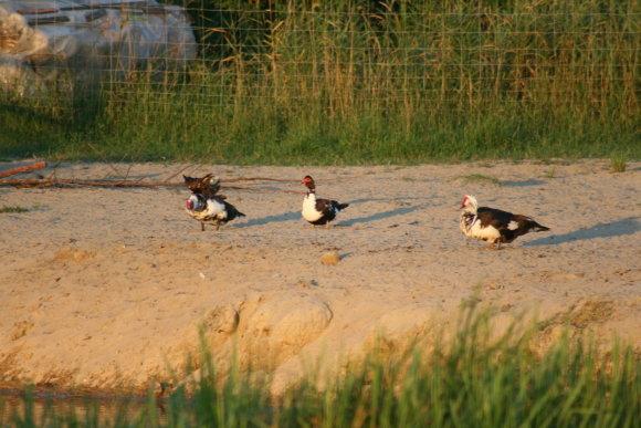 Asmeninio archyvo nuotr./Remigijaus Žemaitaičio auginami paukščiai