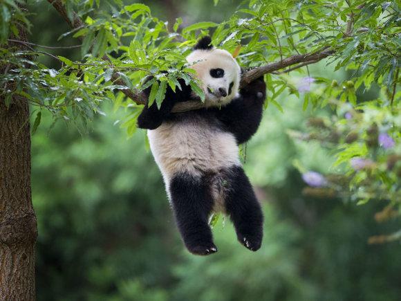"""AFP/""""Scanpix"""" nuotr./Didžioji panda"""