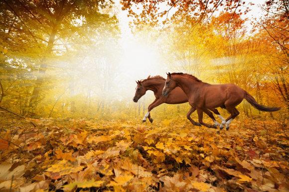 Fotolia nuotr./Šoliuojantys žirgai.