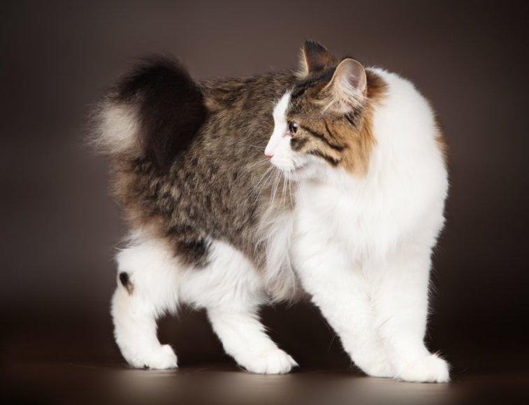 Savaitgalį Kauną stebins beuodegės katės
