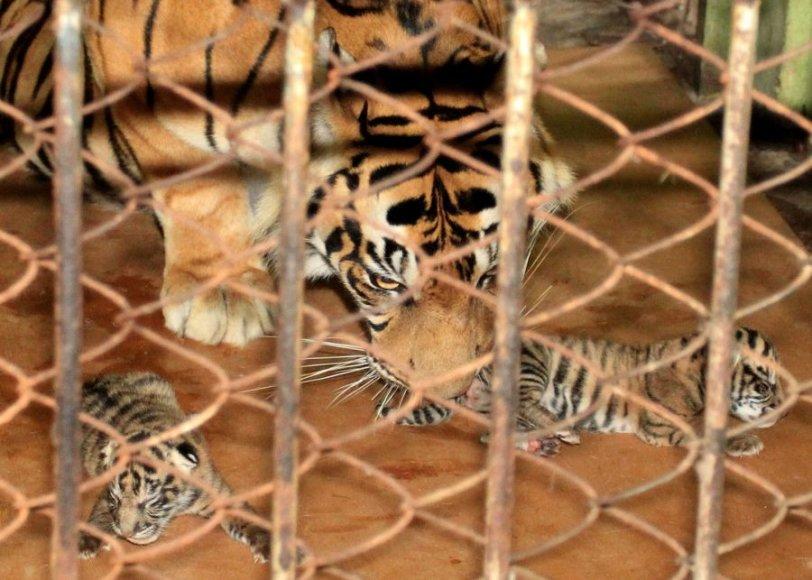 Sumatros tigrė atsivedė tris tigriukus