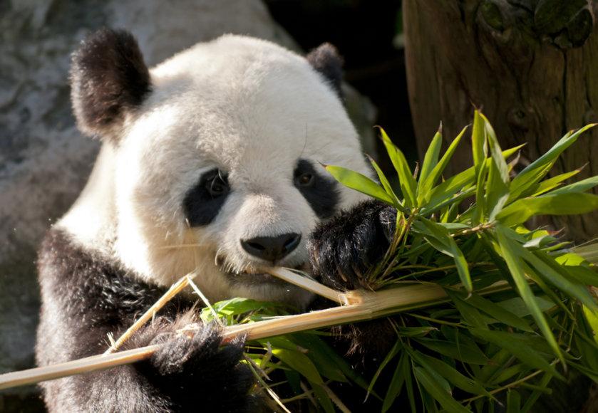Panda graužia bambuką