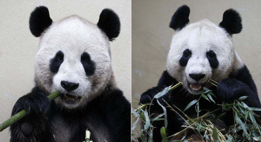 Pandos patinėlis Yang Guang (kairėje) ir patelė Tian Tian (dešinėje)