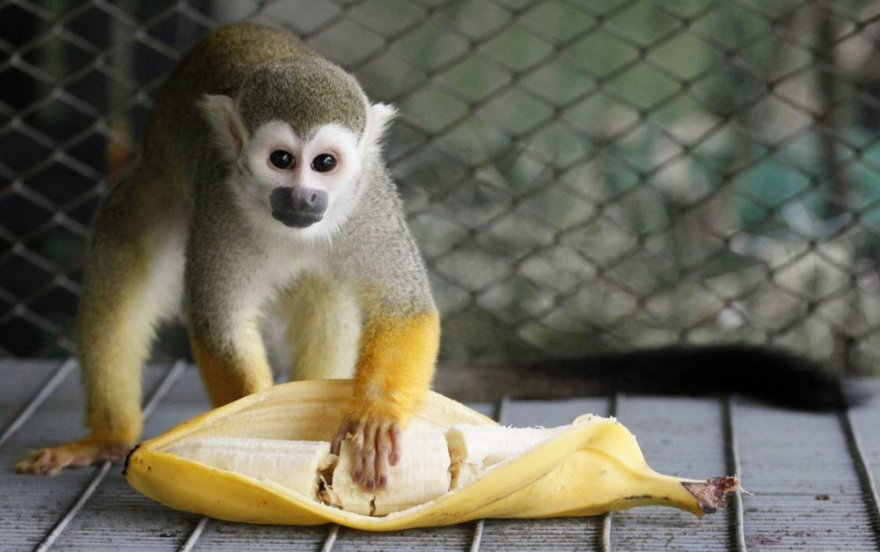 Beždžionėlė valgo bananą