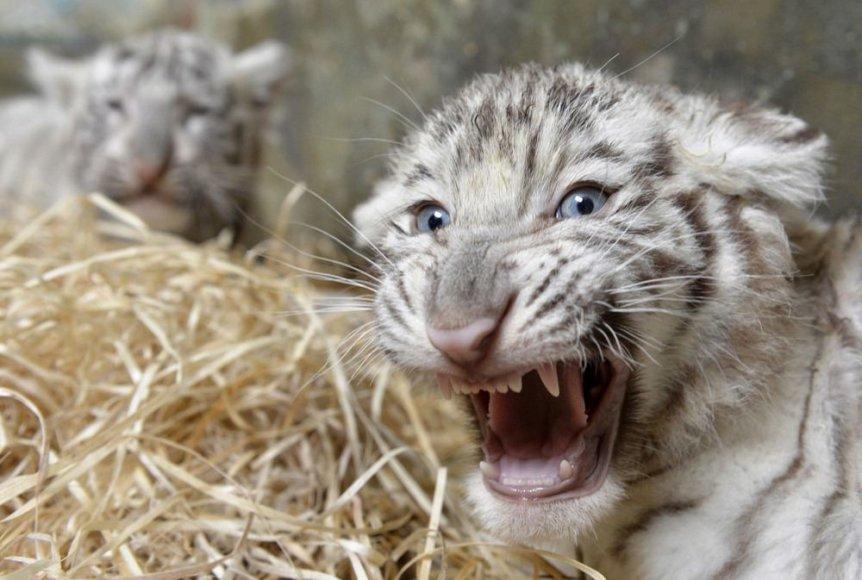 Baltojo tigro jauniklis