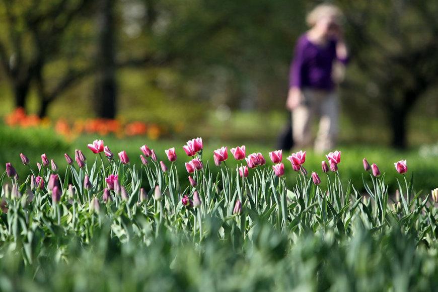 Tulpių žydėjimo metas