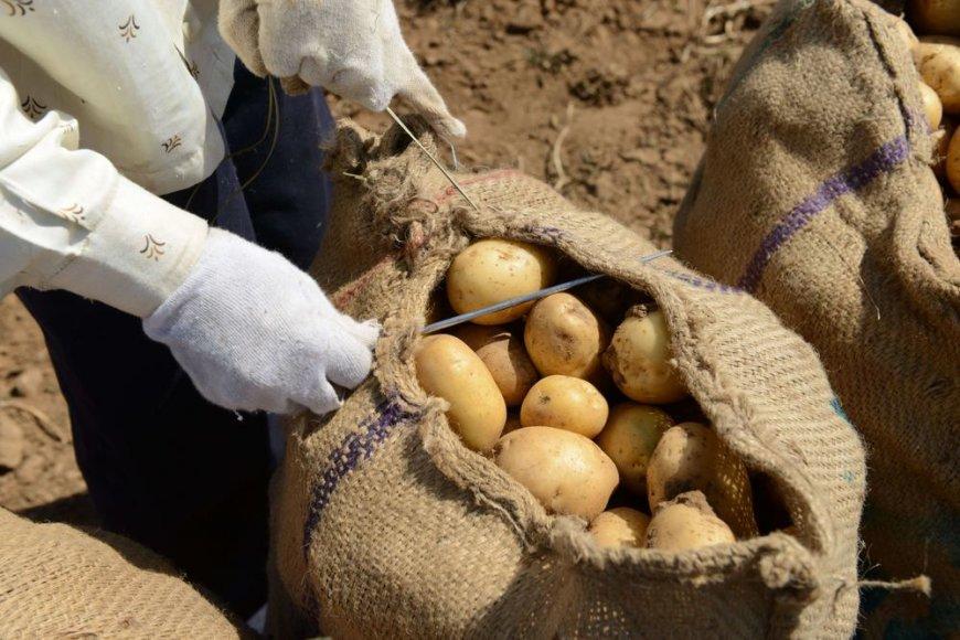 Bulvių maišas