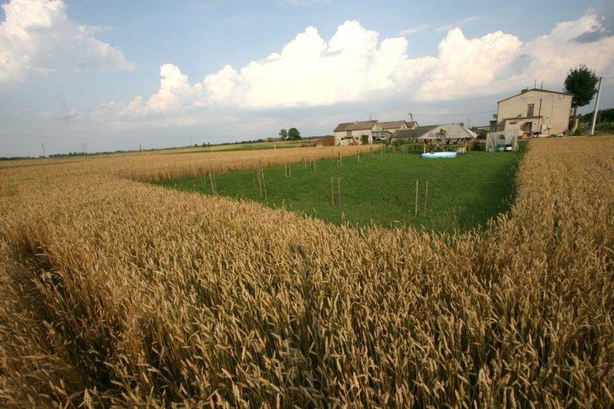 Joniškio rajone javų laukais rieda kombainai
