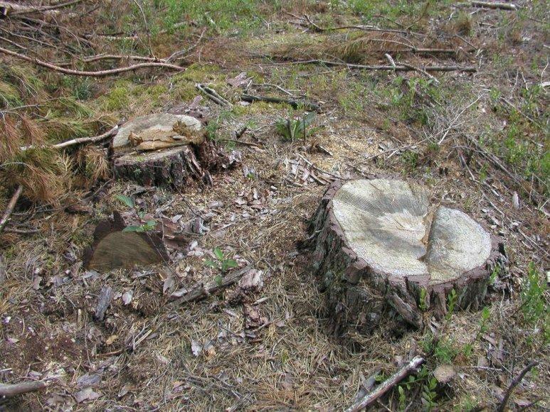 Šimtamečiai medžiai virto pasipelnymo šaltiniu
