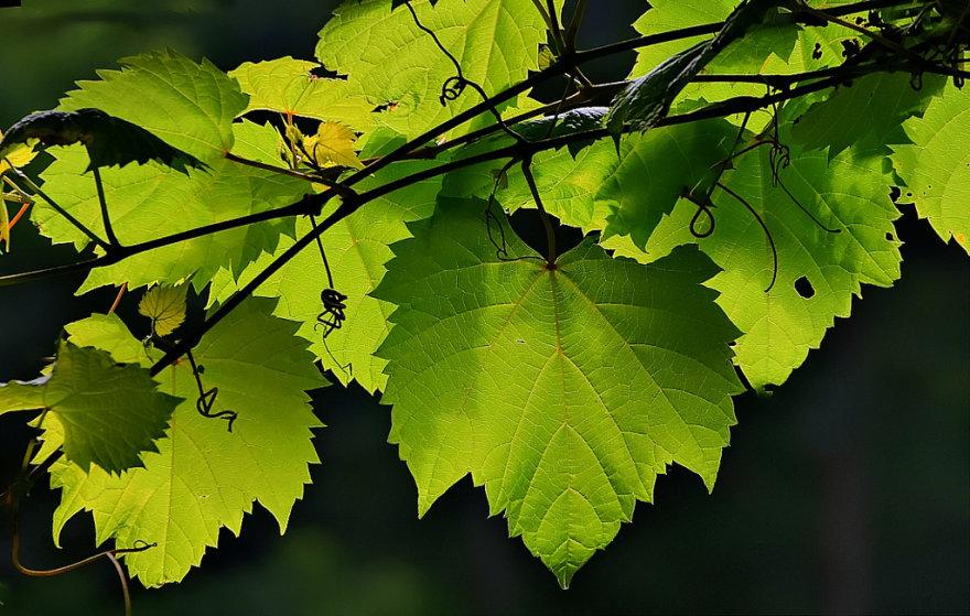 Vynuogių lapai taip pat yra naudingi
