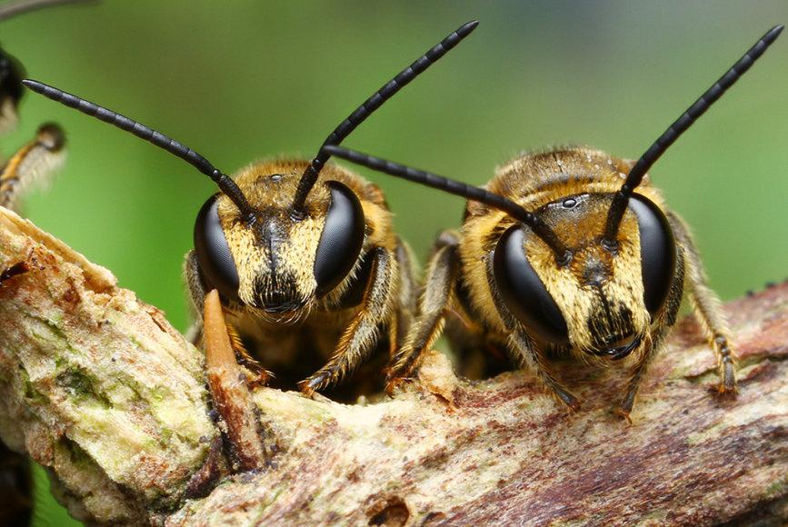 Bitės dvynukės