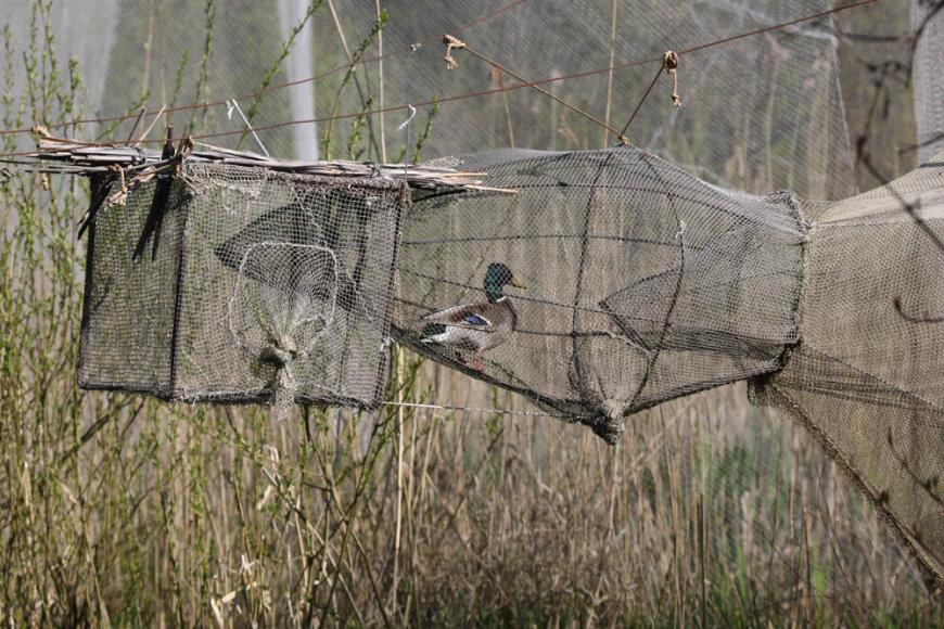 Paukščiai Ventėje žieduojami daugiau nei 80 metų. Vytauto Jusio nuotr.