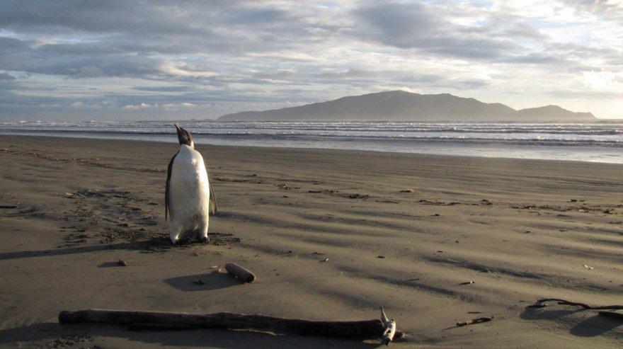 Imperatoriškasis pingvinas