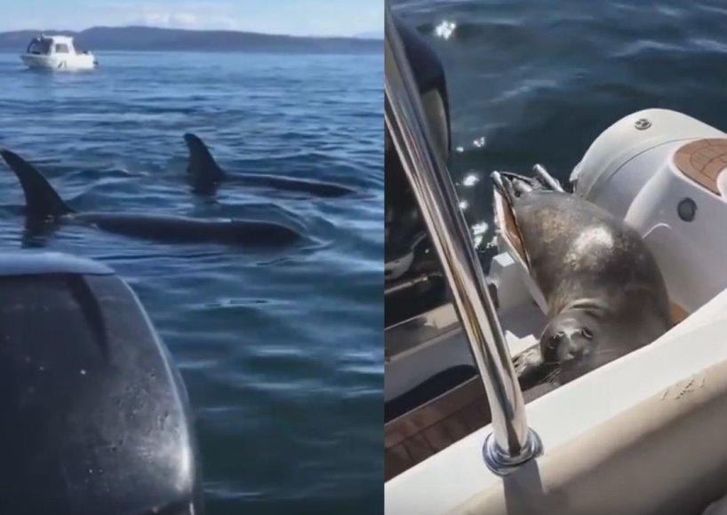 išsigandęs ruonis nuo alkanų orkų pabėgo įšokęs pas žmones