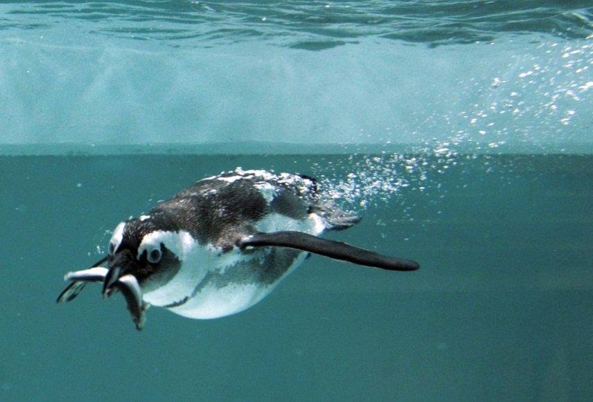 Afrikinis pingvinas