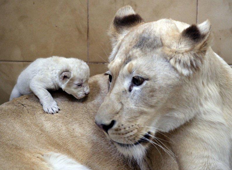 Baltoji liūtė Azira su jaunikliu