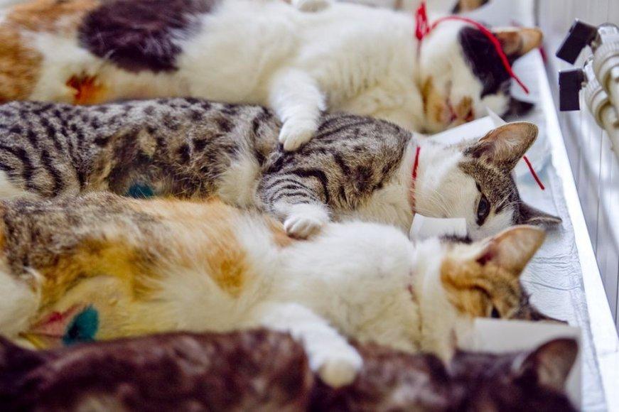 Katės po atliktos sterilizacijos