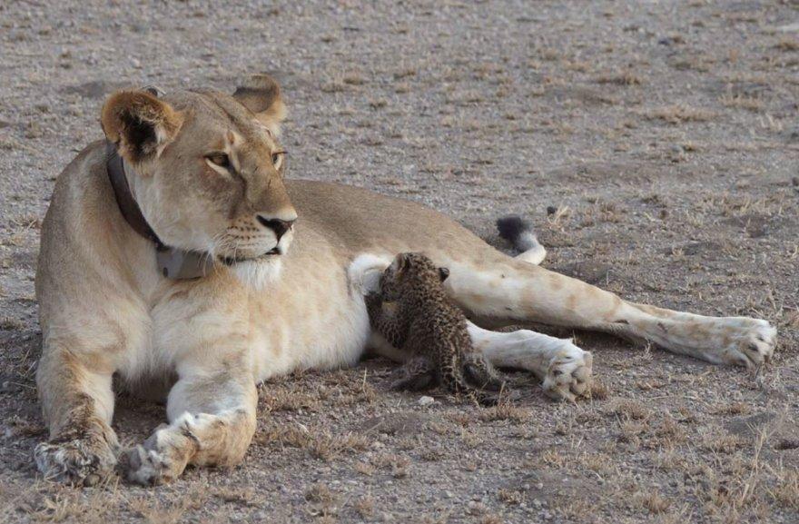 Tanzanijos draustinyje pastebėta leopardo jauniklį maitinanti liūtė