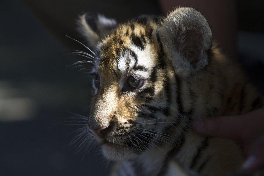 Tigro jauniklis