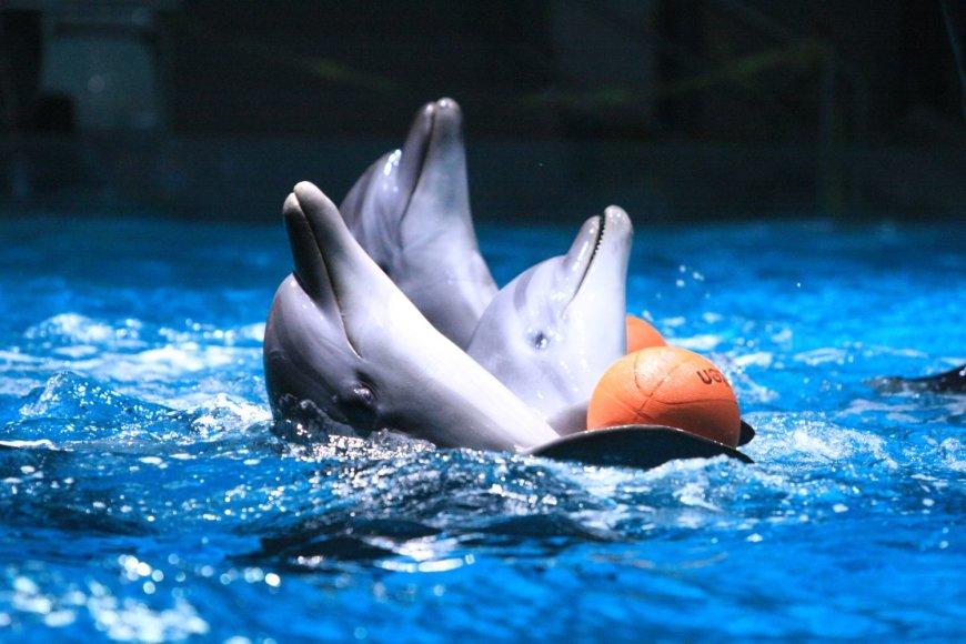 Delfinai ruošiasi susitikimui su žiūrovais