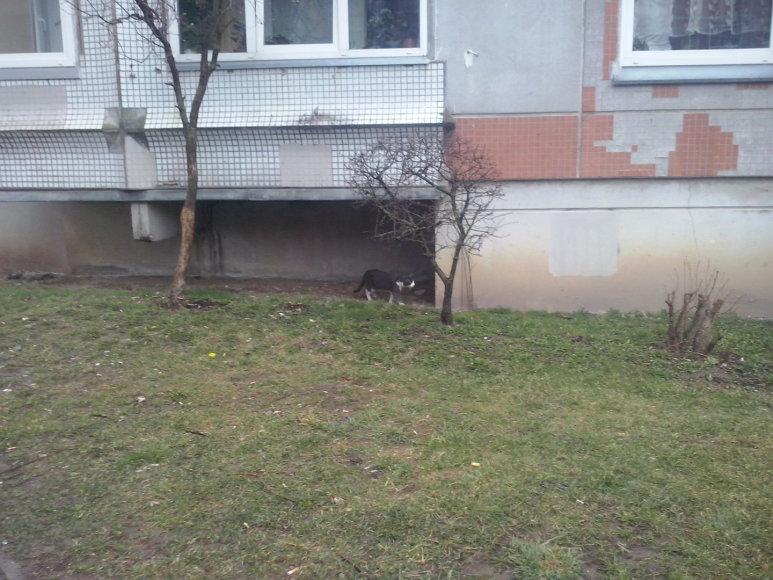 Beglobė katė Vaidaugų g. Klaipėdoje
