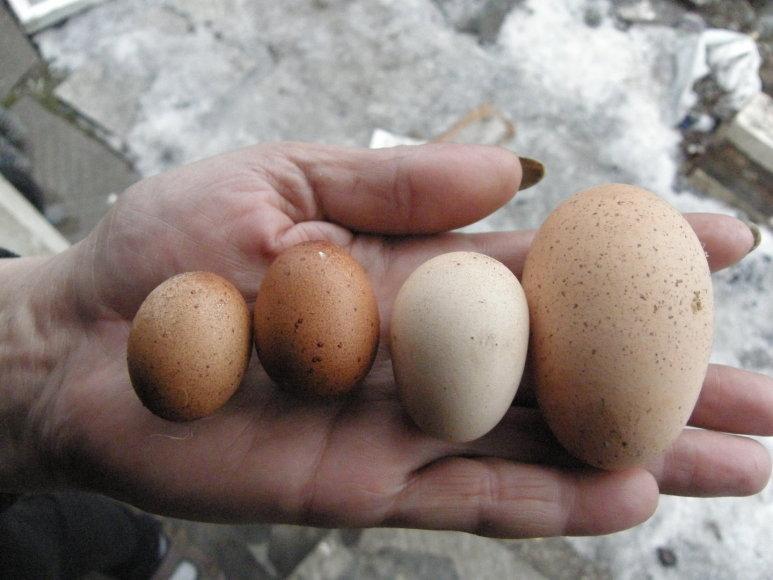 Kaunietės višta sudėjo labai mažus kiaušinius