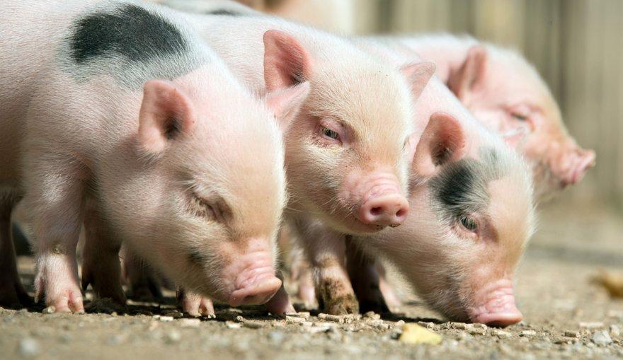 """AFP/""""Scanpix"""" nuotr. / Kiaulės"""
