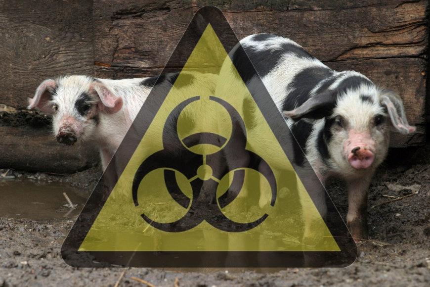 Kiaulių maras