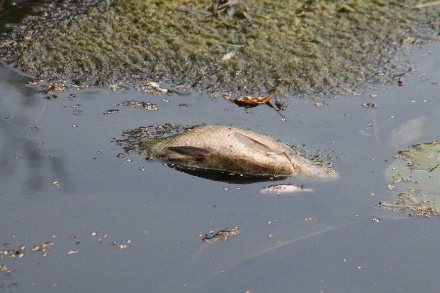 Nugaišusios žuvys Nevėžio upėje
