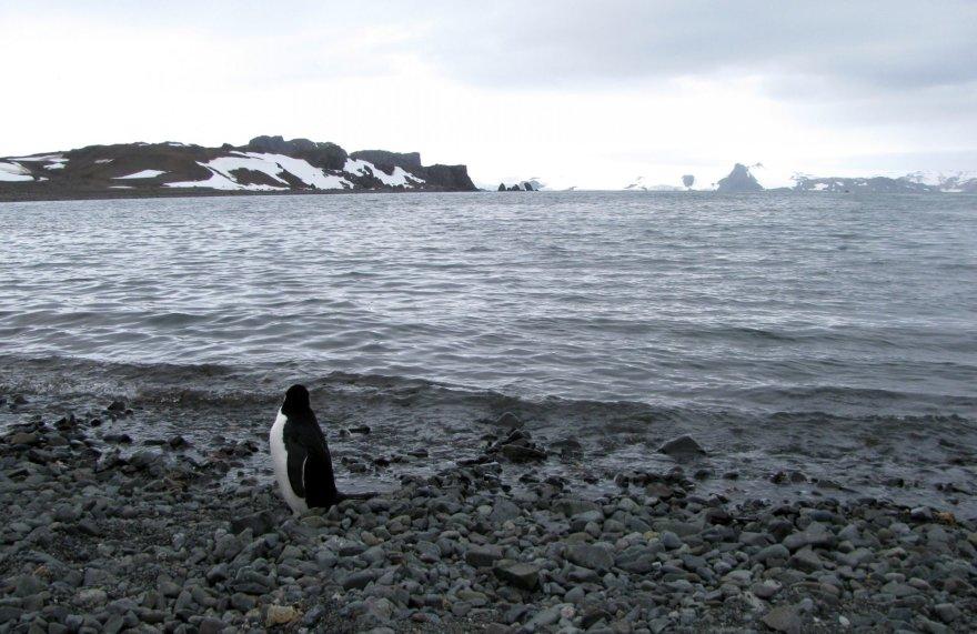 Pingvinas prie Antarkties