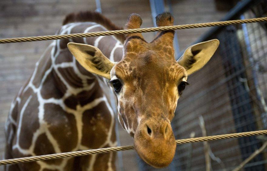 Kopenhagos zoologijos sodo žirafa Marius