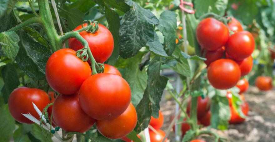 Fotolia nuotr./Pomidorai