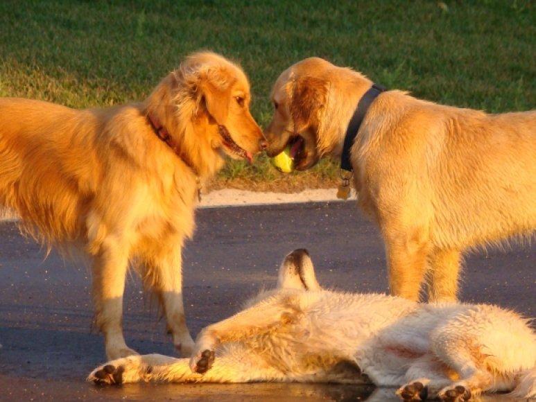 Žaidžiantys šunys