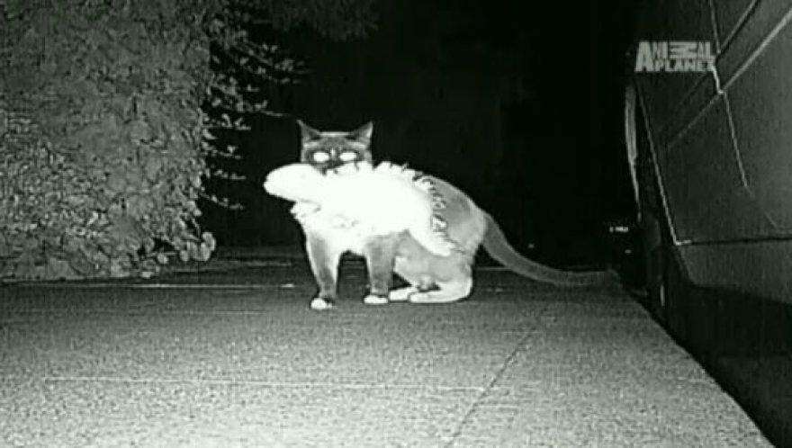 Katinas Dusty neša grobį namo.