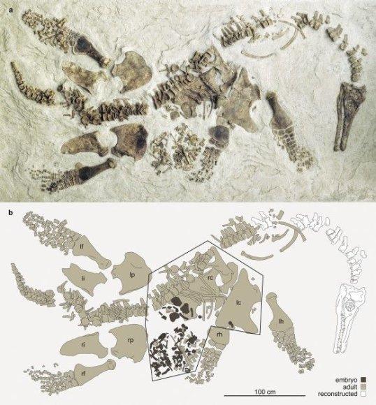 Mokslininkai įsitikinę, kad tai – nėščios pleziozauro patelės ir jos vaisiaus liekanos.