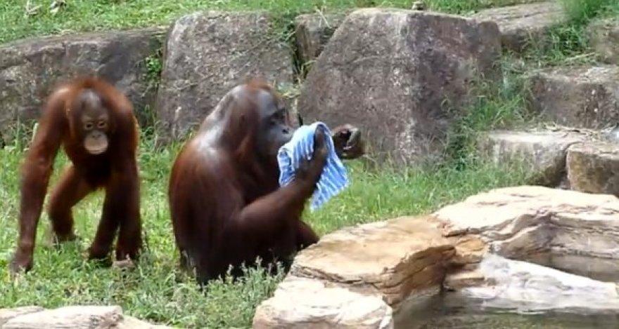 Orangutanas atsivėsina šlapiu rankšluosčiu.