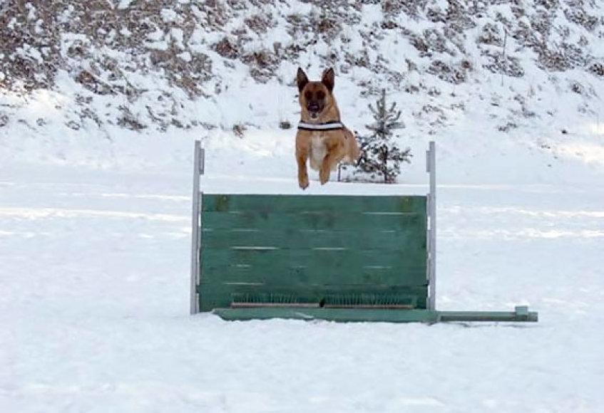 Tarnybinis šuo mokymuose