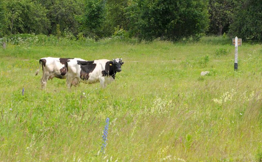 Karvės pievoje