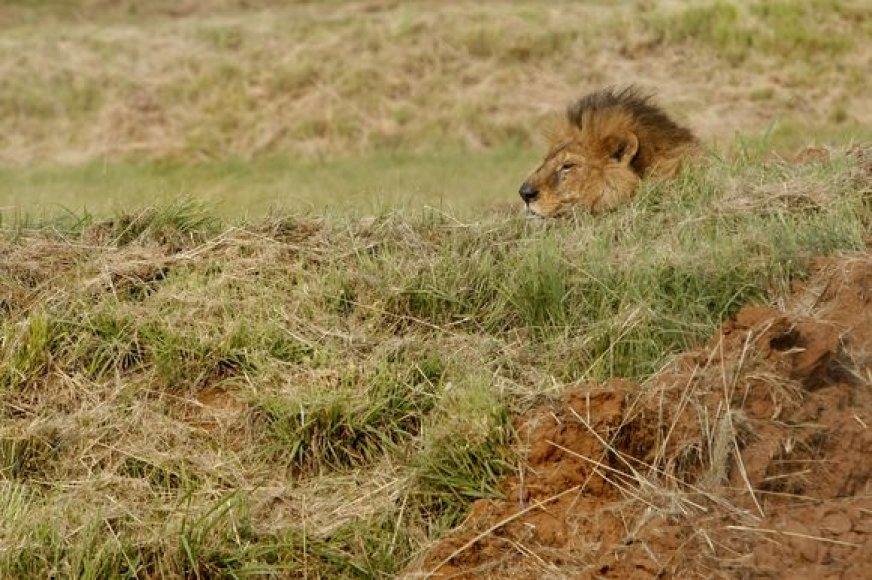 Snaudžiantis liūtas Cezaris