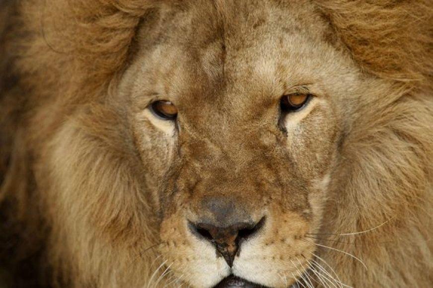 Liūtas Octavianas