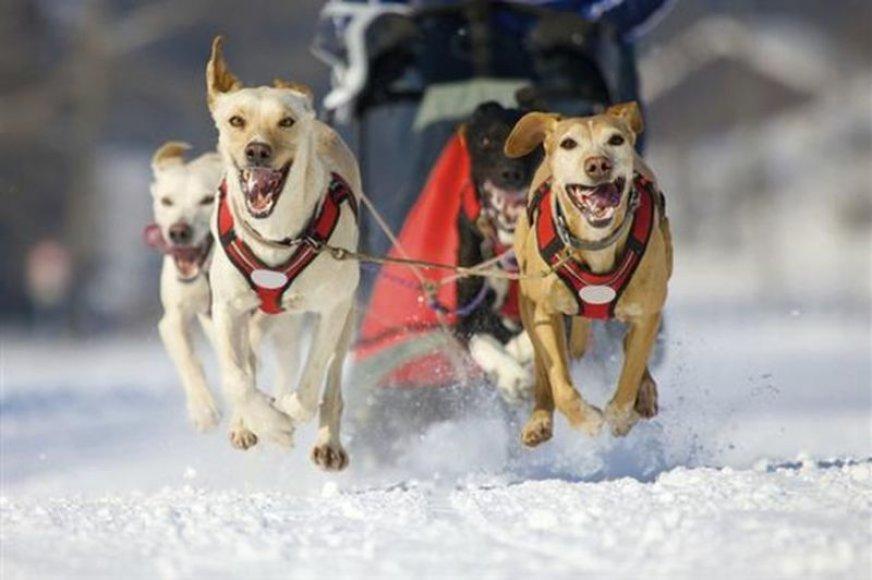 Pasivažinėjimas šunų kinkiniu su išskirtiniais pietumis.