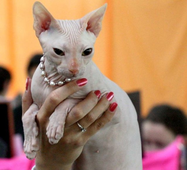 Parodoje bus galima pamatyti retų kačių veislių.