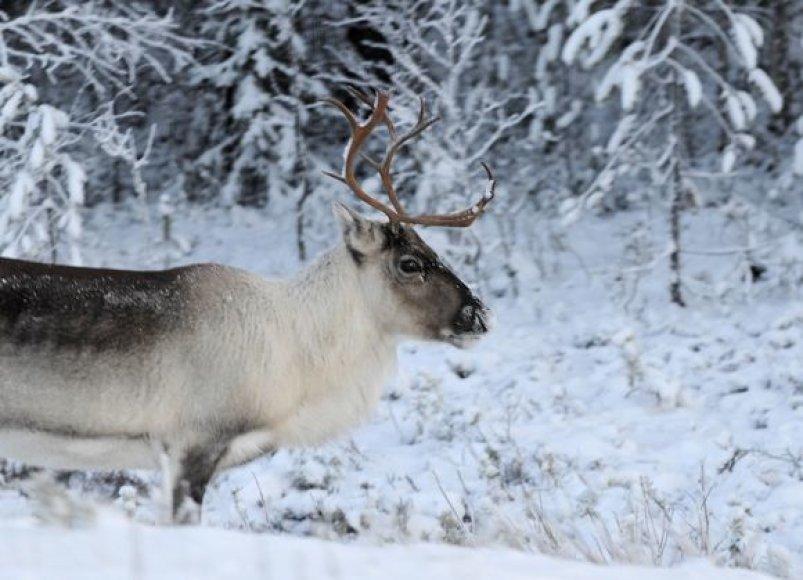 Kalėdų Senelio šiaurės elnias