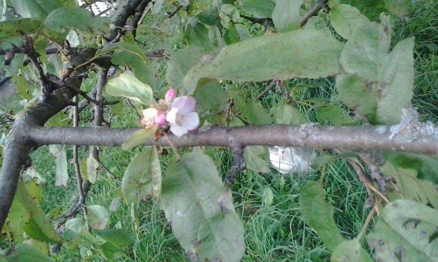 Prieš rudenį pražydo obelis Kapčiamiestyje
