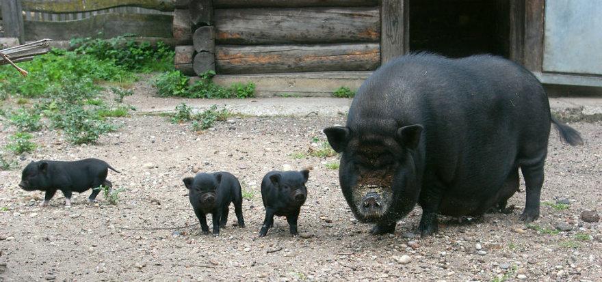 Kiaulių šeimyna