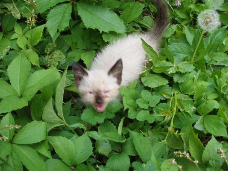 Rastas kačiukas