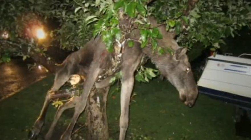 Briedė medyje