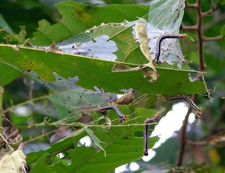 Kirmėlės niokoja Liberijos ūkį.