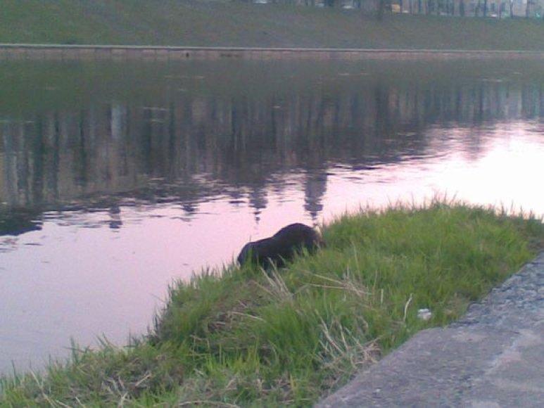 Bebras prie Žaliojo tilto.