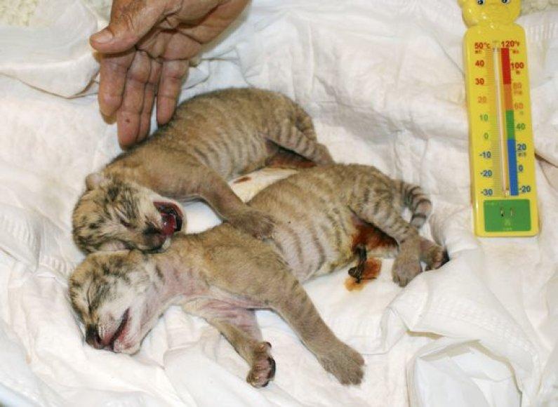 Taivane pavyko sukryžminti liūtą ir tigrę.